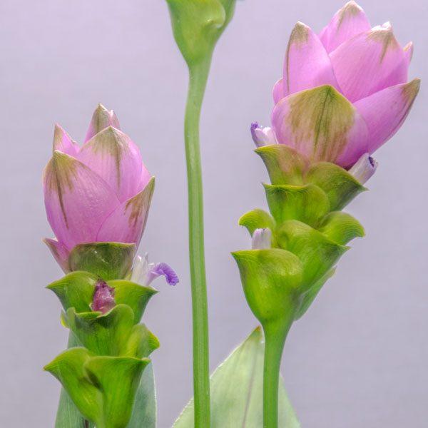 סידור קורקומה - לה ולי פרחים