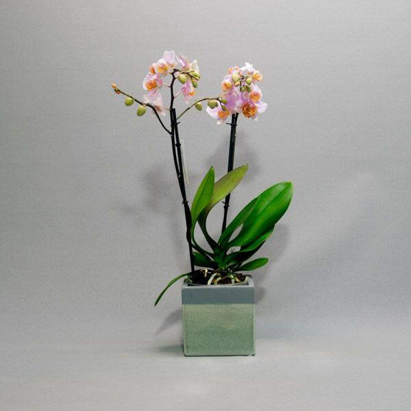 עציץ סחלב מיני - לה ולי פרחים