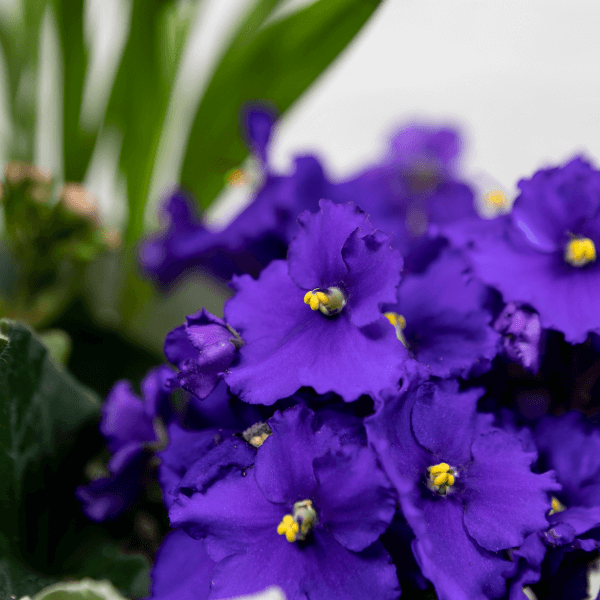 קוקטייל מאקוי - לה ולי פרחים