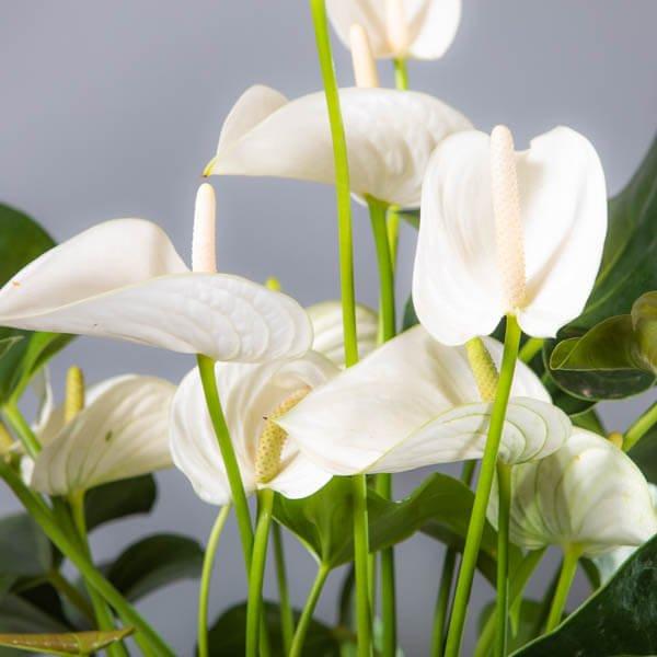 עציצים - לה ולי פרחים - מתנות בחיפה