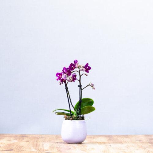 סחלב מיניאטורי - לה ולי פרחים