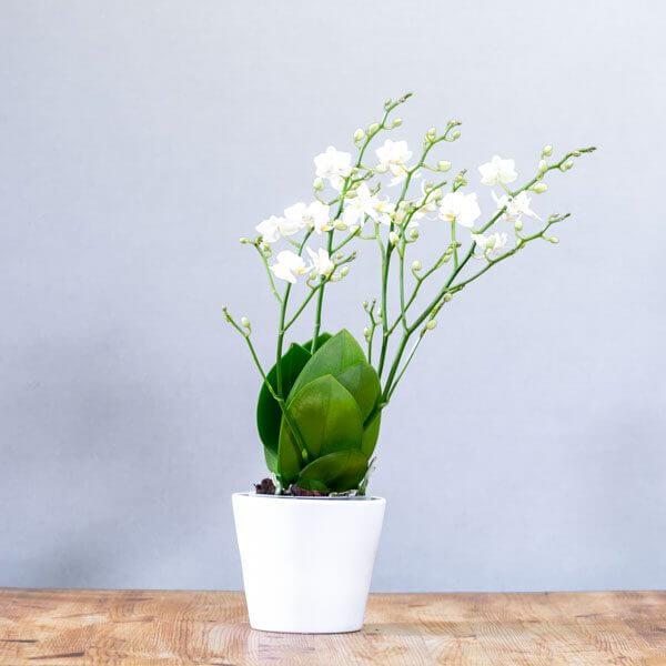 סחלב מיני אבר-לאסטינג - לה ולי פרחים בחיפה