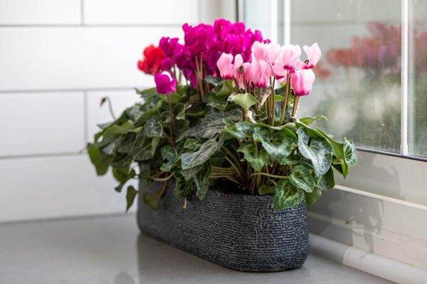 לה ולי פרחים - עדנית רקפות מהודרת - משלוחי פרחים בחיפה