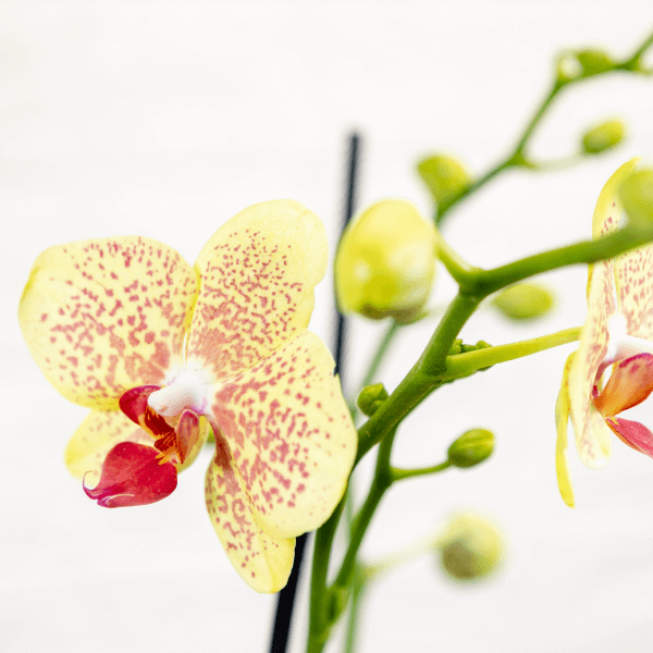 לה ולי פרחים- קוקטייל סחלב