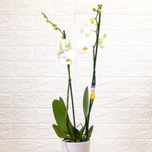 לה ולי פרחים - עציץ סחלב בכלי זכוכית