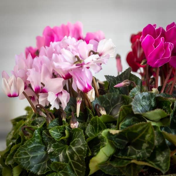 לה ולי פרחים - 4 רקפות - משלוח פרחים בחיפה
