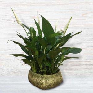 לה ולי פרחים - עציץ ספיטפליום