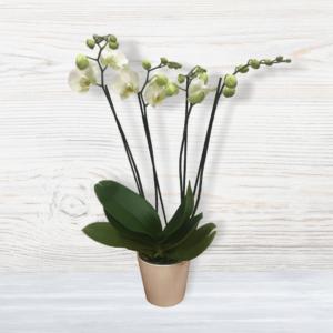 לה ולי פרחים - עציץ סחלב ארבעה ענפים